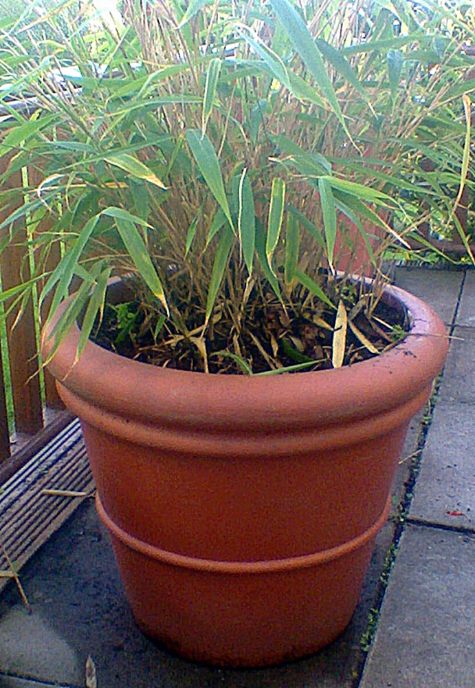 Bamboo Plant in Container , ideal for any garden